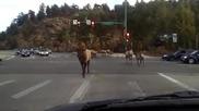 Стадо елени образуват задръстване на пътя!
