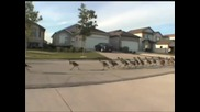 Армия от гъски марширува по улицата