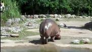 Хипопотам се насира