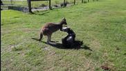 Кенгуру и куче играят на гоненица!