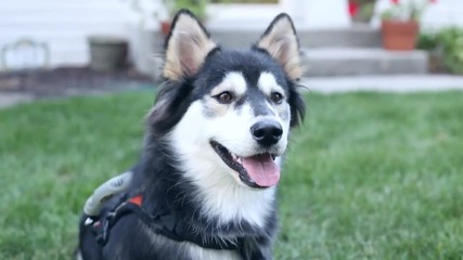 Куче-инвалид проходи отново с 3d протези