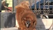 Червен Тибетски Мастиф ~ Най Скъпата Порода Кучета $ 1. 5 Милиона !?! Tibetan Мastiff