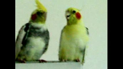 Papagalite Poli I Lori