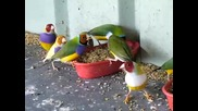 Dinner Time for my Gouldian Finches
