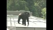 Шимпанзе беглец