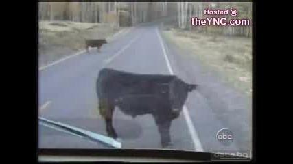 Крава На Пътя