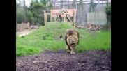 Лъв атакува 3