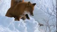 Дивата Русия - Размножителен период при лисиците
