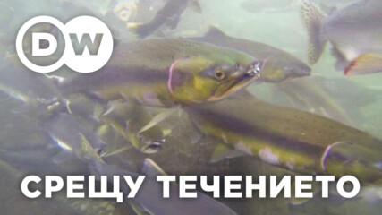 Защо рибите плуват срещу течението?