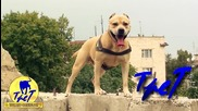 Питбула Tret - Super Dog Training