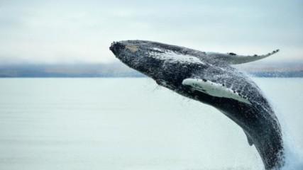 Защо китовете достигат толкова голями размери