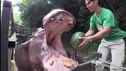 Вижте как хипопотам изяжда цяла диня