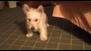 Много сладко кученце го е страх от пърдяща възглавничка