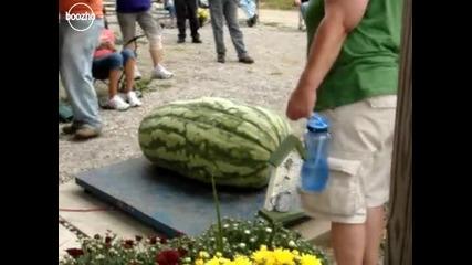 Най - голямата диня в света 110 kg. 5 човека я вдигат (2010)