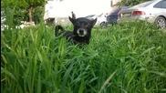Как се пасе трева