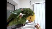 Папагал се почесва с перо - Смях!