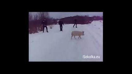 Полски полицаи трудно му насмогват на свинчока 13.02.2013
