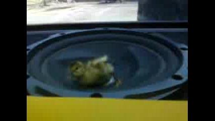 Пиле Върху Тонколона