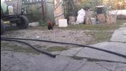 Kуче се страхува от петела,