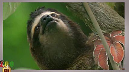 Вижте как живеят ленивците