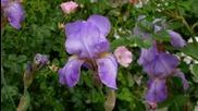 Ernesto Cortazar - Iris Flowers