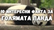 10 интересни факта за голямата панда
