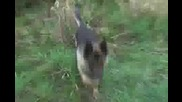 Немската Овчарка - прекрасно куче