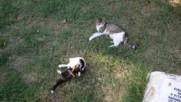 Борба на котки в Трявна
