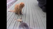 Катеричка краде фъстъци от котка