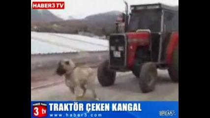 ku4e kangal darpa traktor bez zadrudneniq