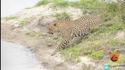 Малка птичка успява да избяга от лапите на леопард