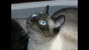 50 Най - Известни Породи Котки В Света