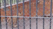 Малките Сладки Лъвчета От Варненският Зоопарк