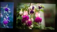 Фуксия - Цветето На Красотата!