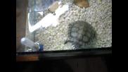 Червенобузи костенурки