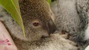 Australia: Orphaned koala joey nursed to health after accident kills mother