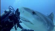 Водолаз плува сред тигрови акули