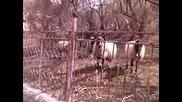 Говорещият с овци!! :d 2-ра част