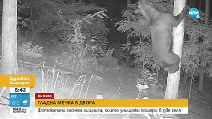 Гладна мечка унищожава кошери в Хаджидимовско