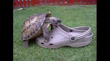 """Хванат в крачка костенурка се опитва да """"оправи"""" сандал"""