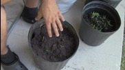 Този дядо взе няколко парченца домат и ги сложи в саксия с почва. 12 дни след това намери