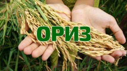 Лечебните свойства на ориза