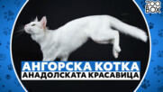 Ангорска котка - анадолската красавица