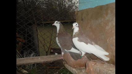гълъбите на Тошката