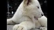 Сладко, Малко, Бяло  Лъвче