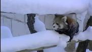 Сладки малки червени панди си играят в снега