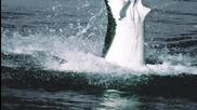 Акула атакува тюлени..