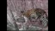 Далекоисточен   Леопард