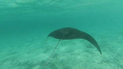 Малдивите - Манта на шнорхелинг