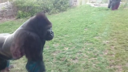Голяма горила се засилва към хора и напуква прозорец